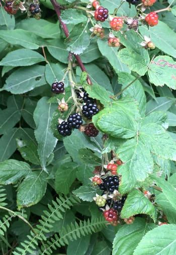 Close up view of red and black berries growing amidst green leaves