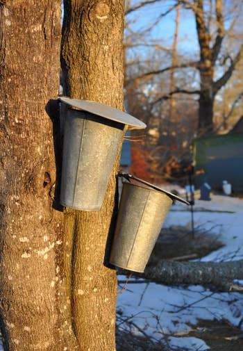Two silver tin pails hanging from maple trees