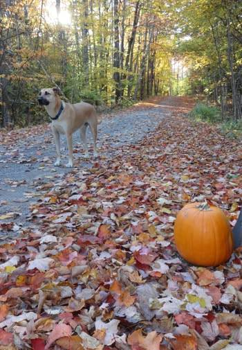 Nature path covered with fallen leaves, flanked by trees with Merlin, the dog, standing in the path and a pumpkin off to the side