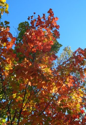 Colorful fall leaves in yellow, red, orange, and green amidst a blue sky
